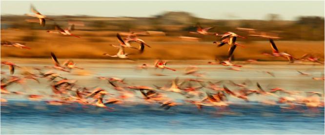 Lesser Flamingoes - Derek Howes