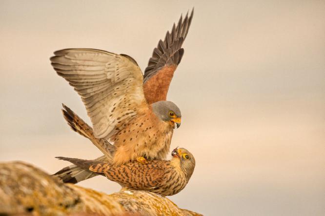 Lesser Kestrels mating - Derek Howes