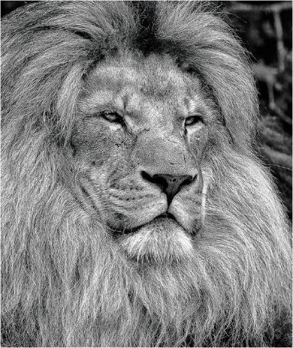 Majestic Lion - Derek Howes