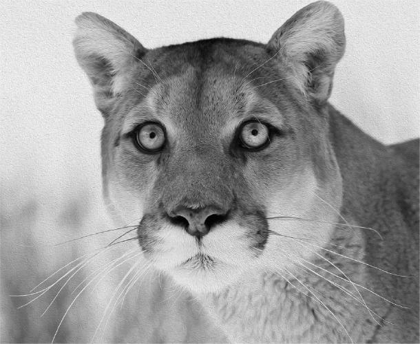 Mountain Lion portrait - Derek Howes