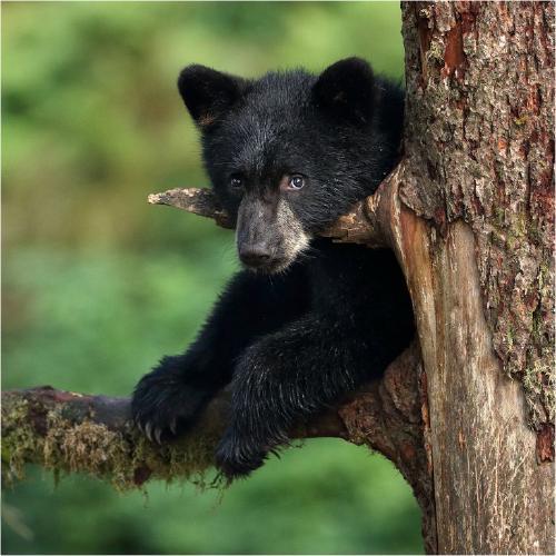 Observant Black Bear cub - Derek Howes