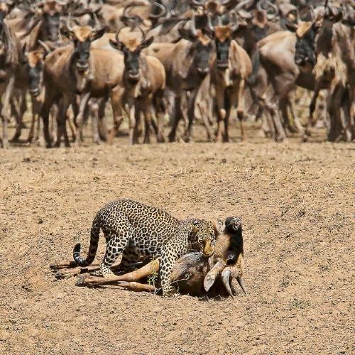 Onlookers at a Leopard kill - Derek Howes