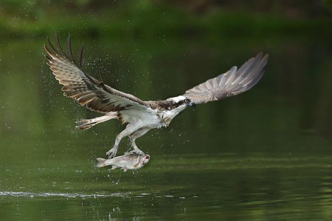Osprey Collecting Breakfast - Derek Howes