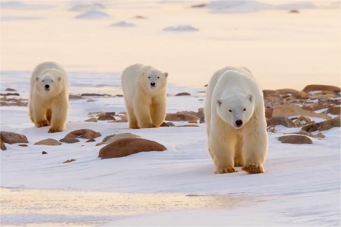 Polar Bear family in evening sun - Derek Howes