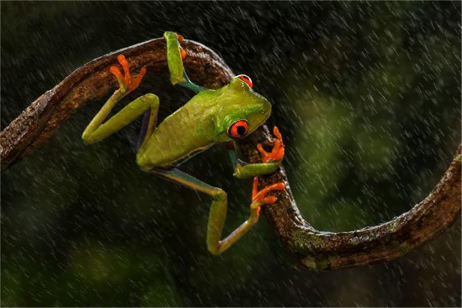 Red eyed Tree Frog in the rain - Derek Howes