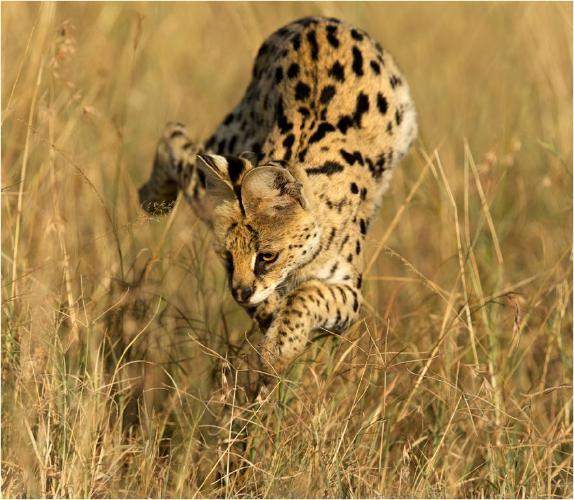 Serval pouncing on prey - Derek Howes