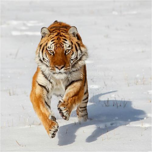 Siberian Tiger pouncing - Derek Howes