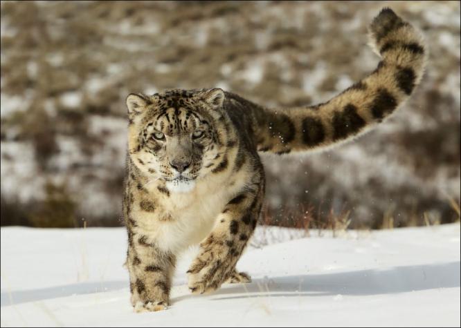 Snow Leopard in full pursuit - Derek Howes