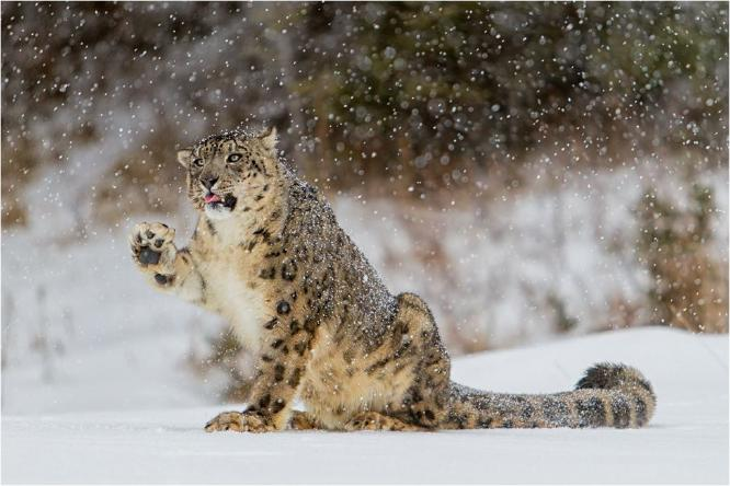 Snow Leopard playing with the snow - Derek Howes