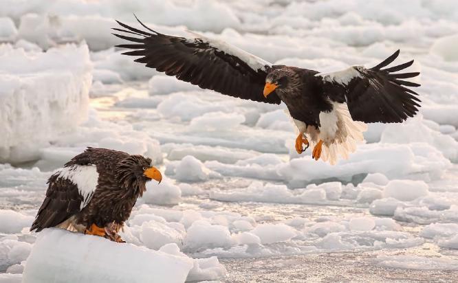 Steller Sea Eagles on Sea Ice - Derek Howes
