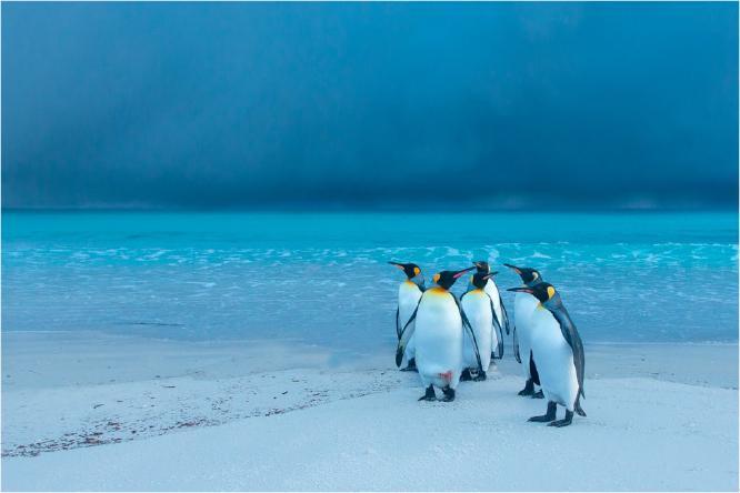 Storm brewing over King Penguins - Derek Howes