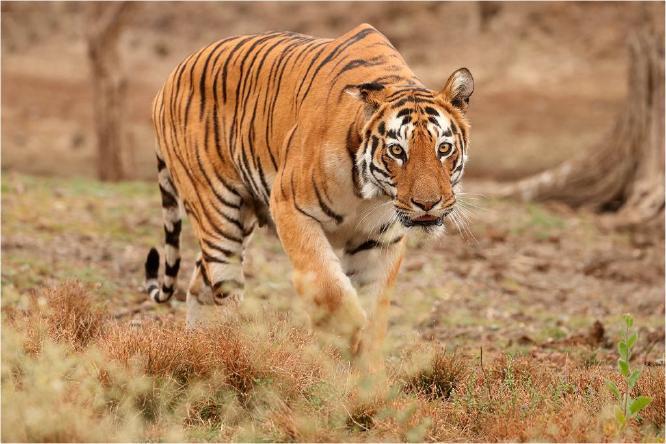 Tiger on the prowl - Derek Howes