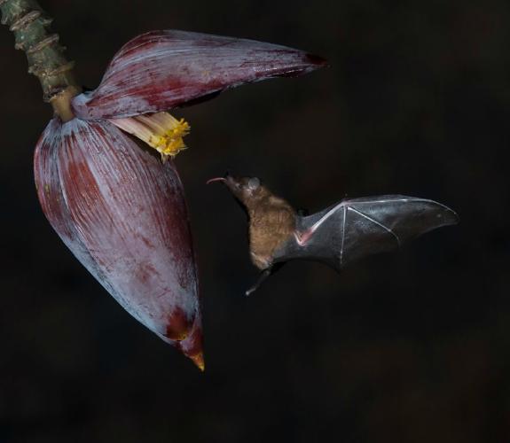 Tiny Nectar Eating Fruit Bat - Derek Howes