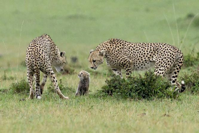 Two male Cheetahs and small cub spells danger - Derek Howes