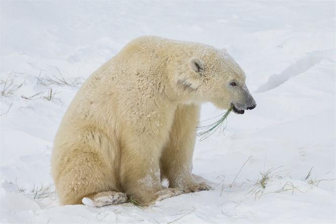 Very Hungry Polar Bear - Derek Howes