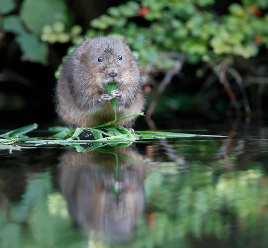 Water Vole enjoying a grass meal - Derek Howes