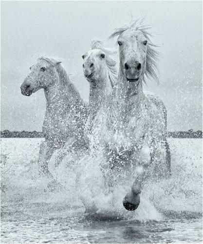 White Stallions Galloping - Derek Howes