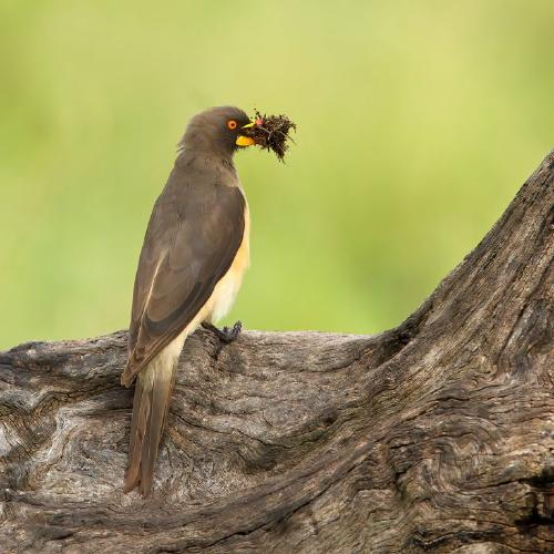 Yellow Billed Oxpecker with Nesting Material - Derek Howes