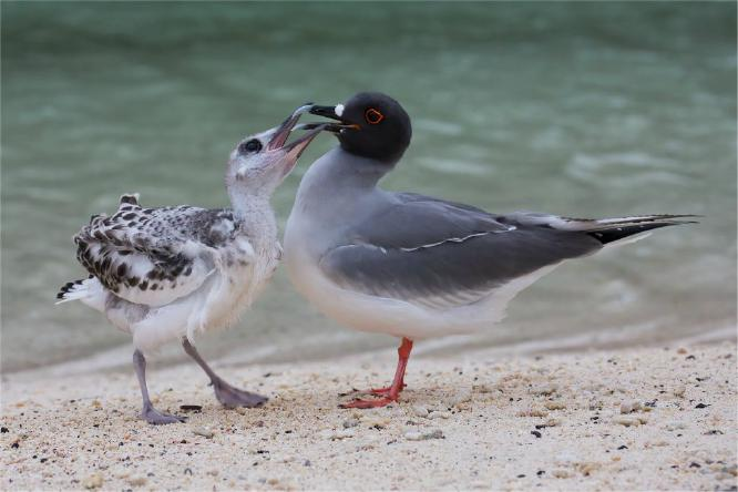 Young Swallow Tailed Gull begging for food - Derek Howes