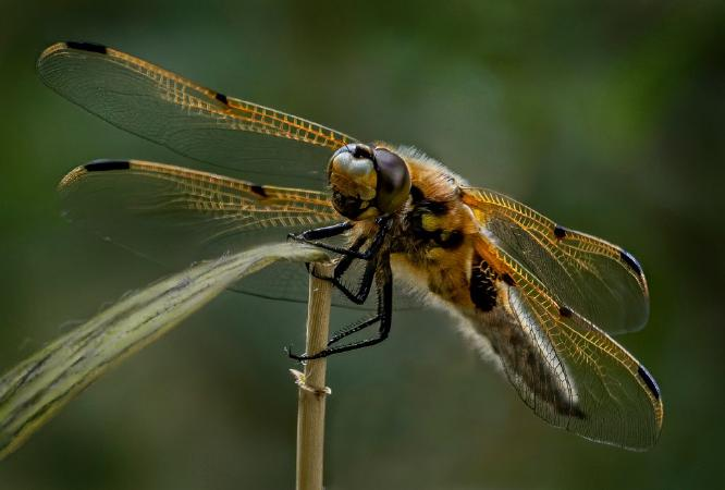Four Spotted Chaser - Jan Cross
