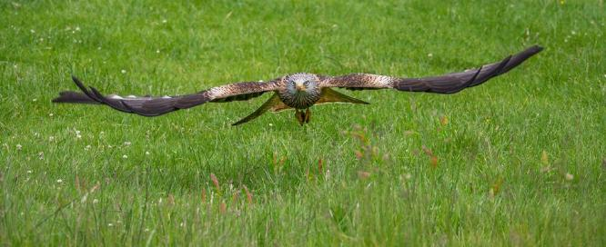 Red Kite with Catch - Jan Cross