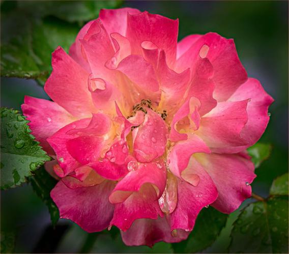Essex Rose - Jennifer Brett