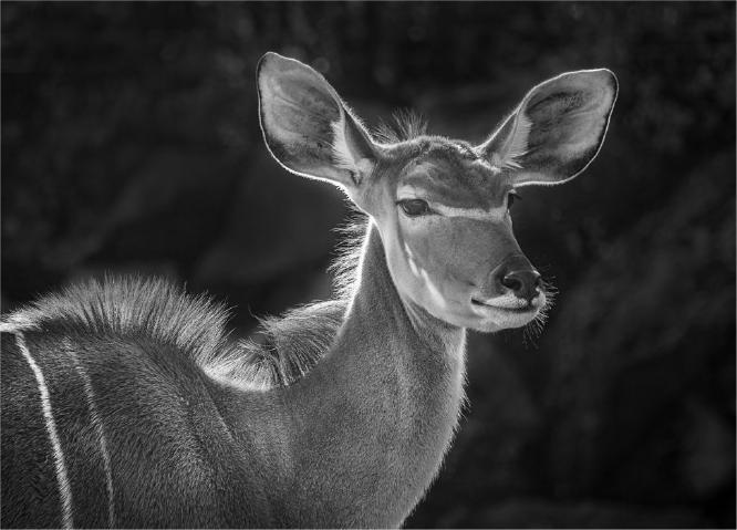 Kudu Colchester Zoo - Jennifer Brett