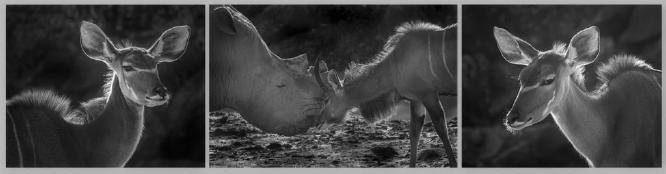 Male Kudu defending his females - Jennifer Brett