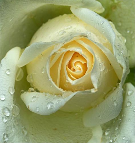 Raindrops on rose - Jennifer Brett