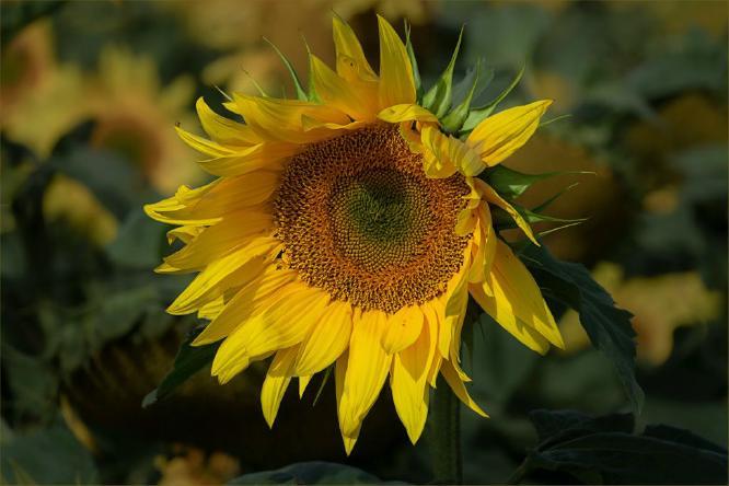 Sunflower - Jennifer Brett