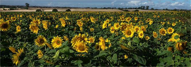 Sunflowers Great Holland looking towards Frinton - Jennifer Brett