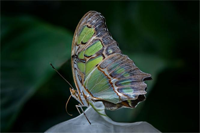 Tropical Butterfly - Jennifer Brett