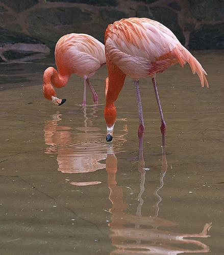 Flamingos - John Yateman