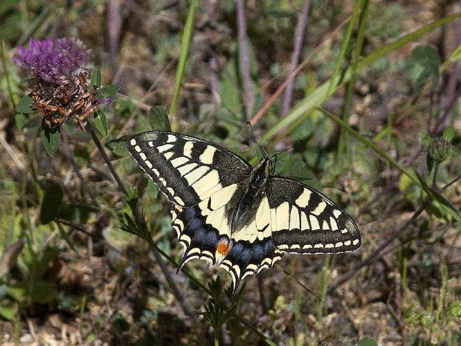 Swallowtail - John Yateman