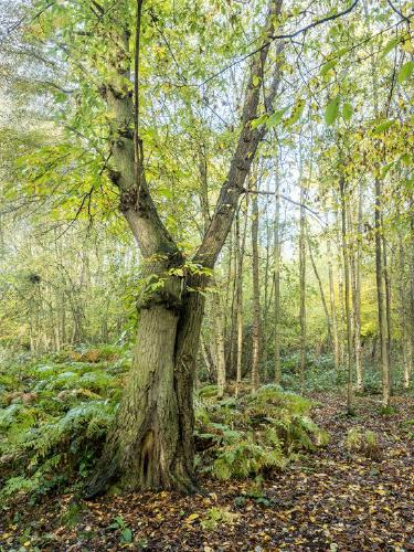 Early Autumn Chestnut in Messing Woods - Kate Jackson