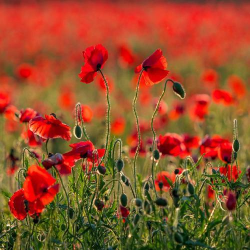 Evening Poppies - Kate Jackson