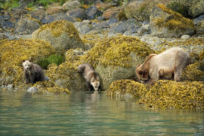 Grizzly Family Searching for Mussels and Crabs - Kate Jackson