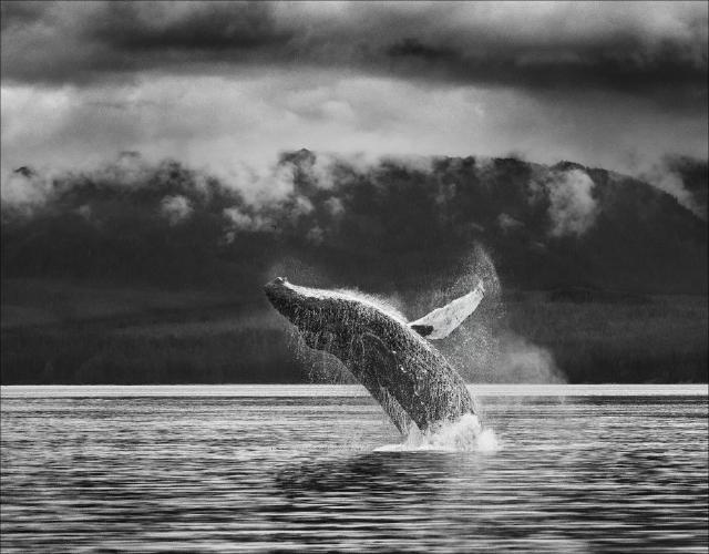 Humpback Breach 2 - Kate Jackson