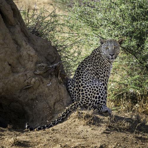 Leopard by a Termite Mound - Kate Jackson