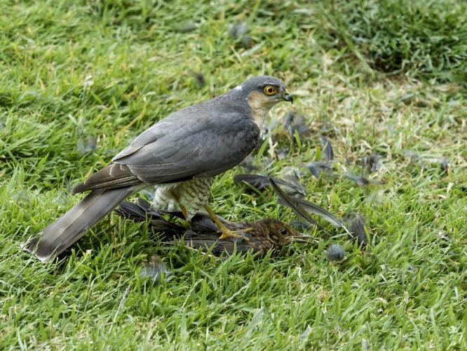 Sparrowhawk on Blackbird - Kate Jackson