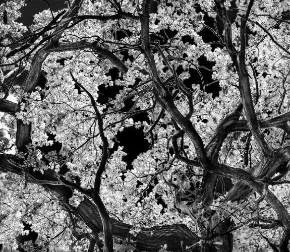 Spring Oak - Phil Brew