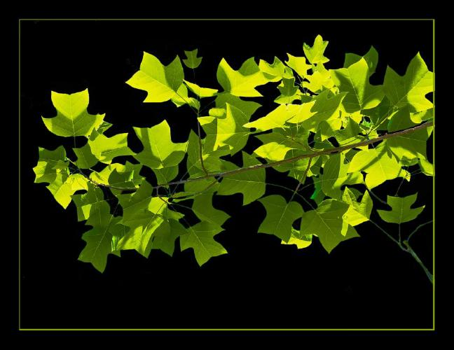 Tulip Tree - Phil Brew