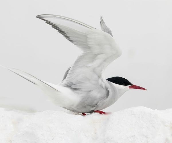 Arctic Tern - Steve Robinson