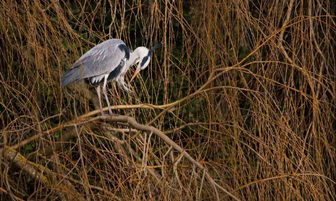 Grey Heron in Weeping Willow - Steve Robinson