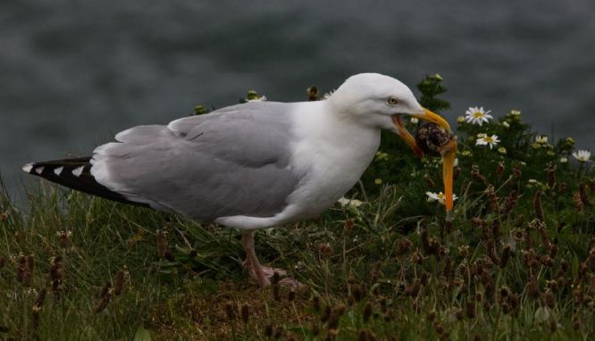 Herring Gull Grabs a Snail - Steve Robinson