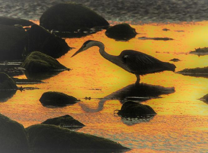 Sunset Heron - Steve Robinson