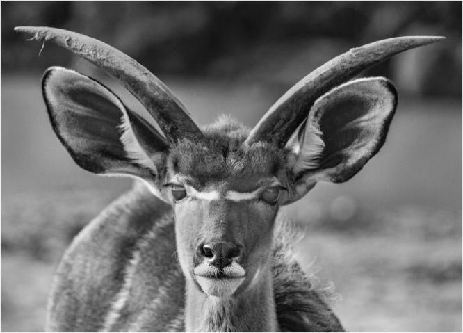 Horns And Ears - Terry Stone