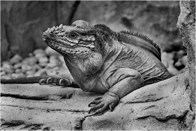 Iguana - Terry Stone