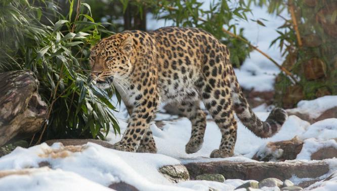 Leopard In The Snow - Terry Stone