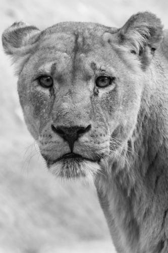 Posing Lion - Terry Stone